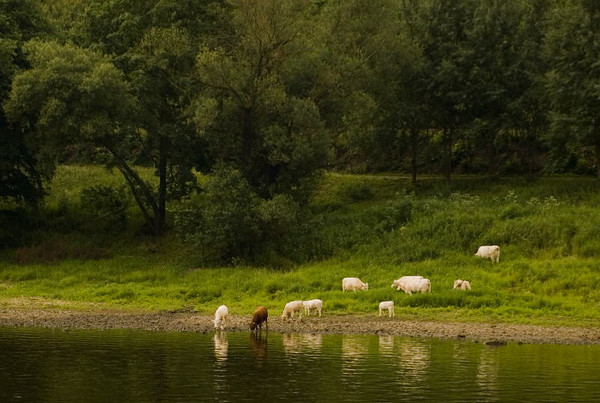 Grazing at river's edge<br /> Saxony<br /> <br /> P128