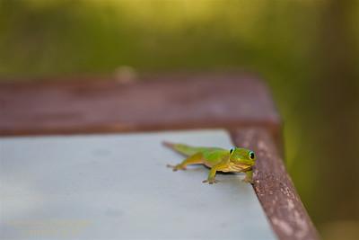 HI-150608-0002 Gecko 1