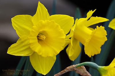 PF-120331-0001 Daffodils