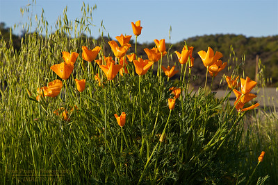 PF-140406-0001 California Poppy
