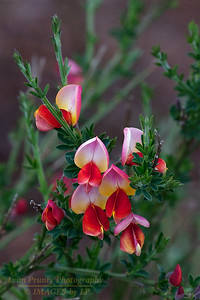 PF-120416-0001 Scotch Broom