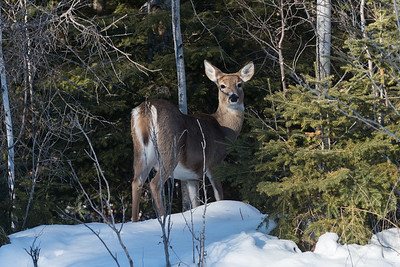 Wildlife in Hecla - Deer