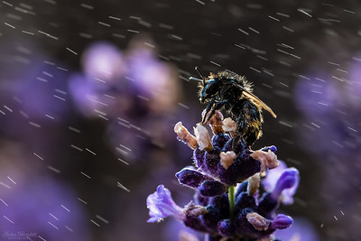 Bumblebee in the rain