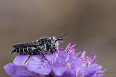 Sharp-tailed Bee