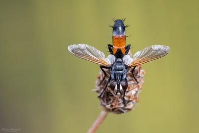 Cylindromyia Fly