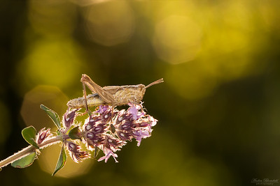Common Field or  Bow-winged Grasshopper