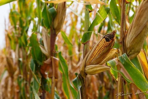 Corn ready for harvesting in western Iowa