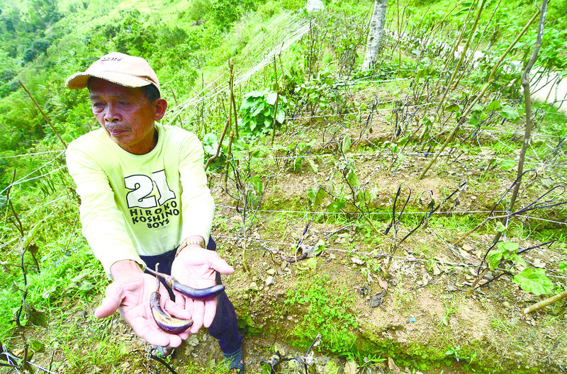 Cold weather damages crops in Cebu