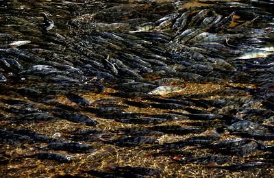 Kaloja   Fiskar   Fishes