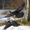 Korppi ja varis- Korp och kråka- Raven and crow