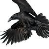 Korppi- Korp- Raven