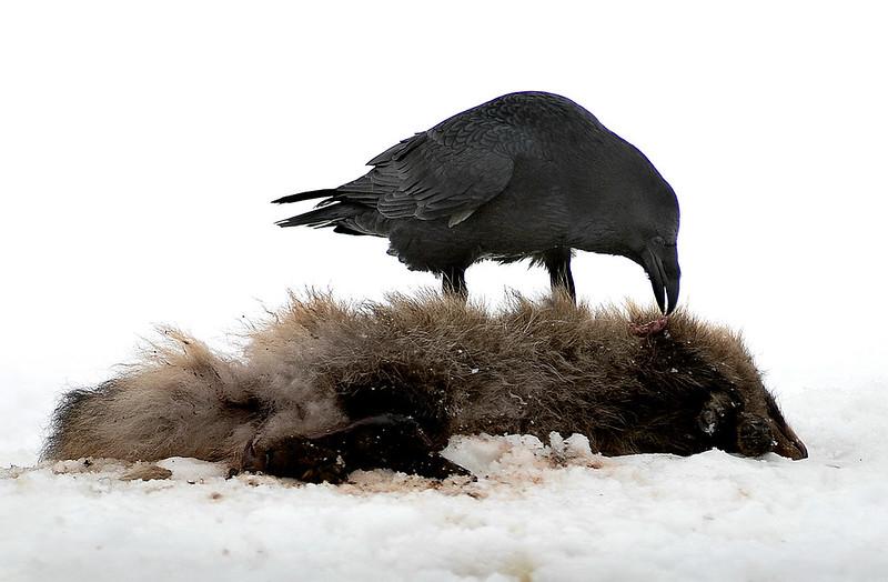 Korppi ja supi- Korp och mårdhund- Raven and raccoon dog
