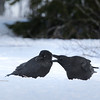Korppi-Korp-Raven