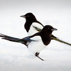 Harakka-Skata-Magpie