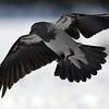 Varis-Kråka-Crow