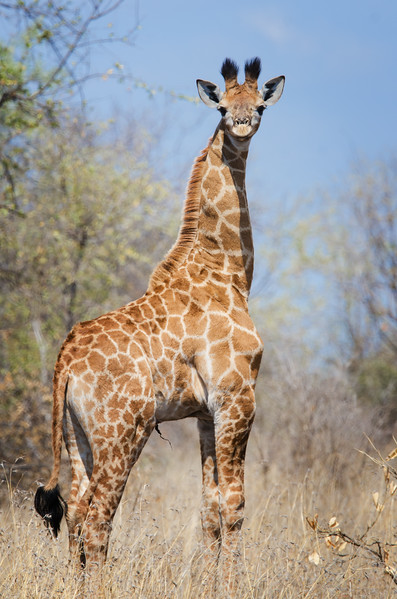 Quintus Giraffe s50