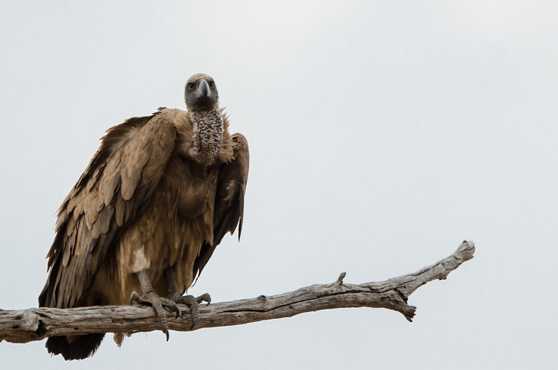 Quintus Vulture Orpen area