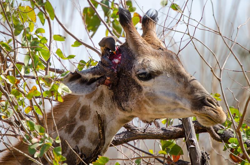 Quintus Giraffe Shingwedzi