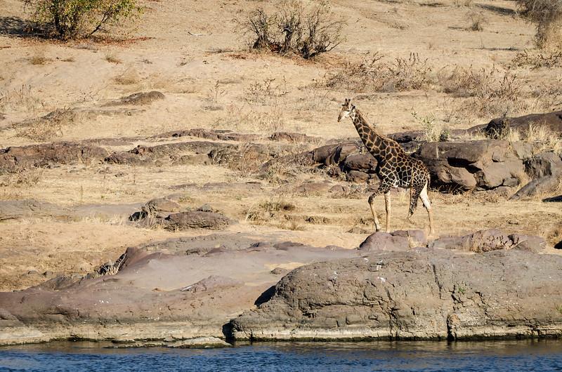 Quintus Giraffe Letaba