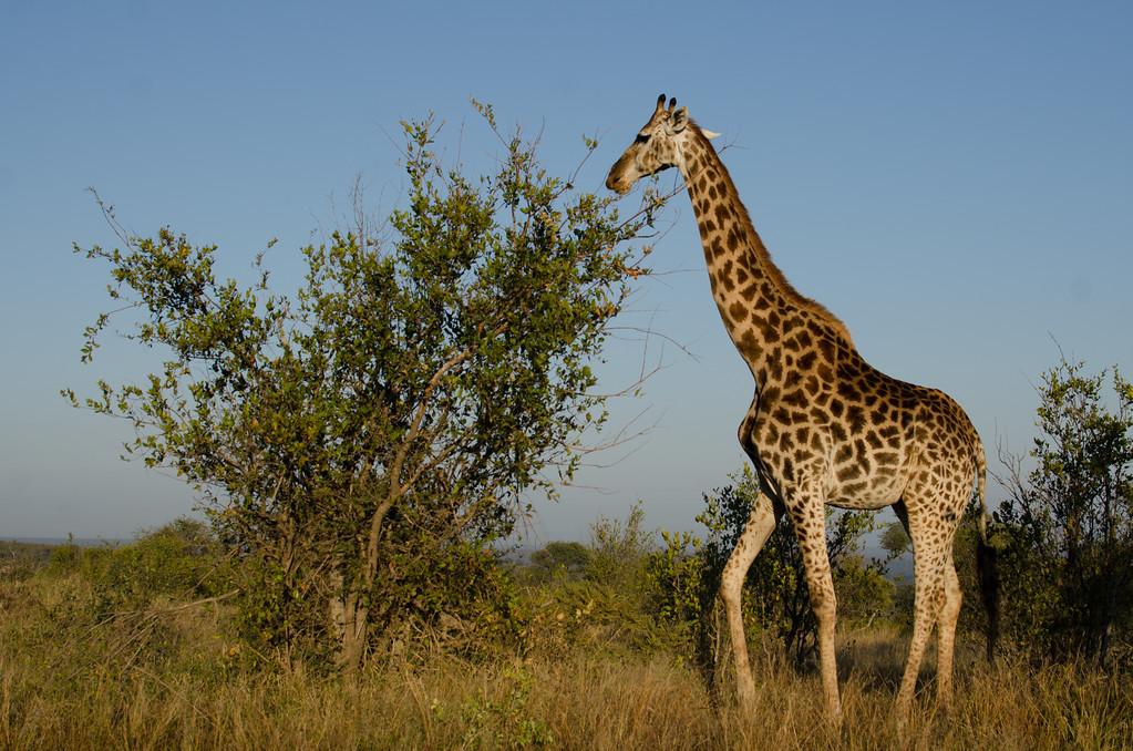 Quintus Giraffe s36