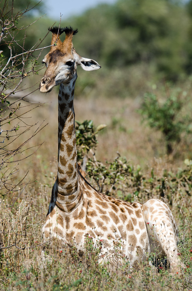Quintus Giraffe unknown area Kruger