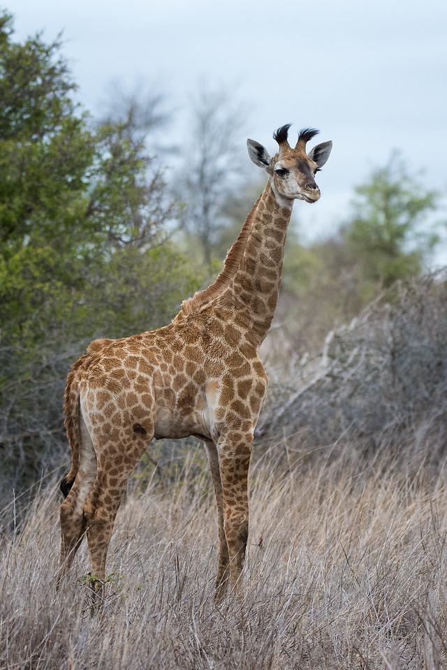 Quintus Giraffe Kruger