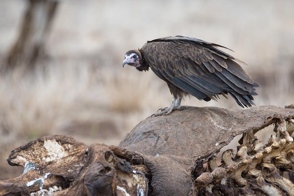 Quintus Vulture s41