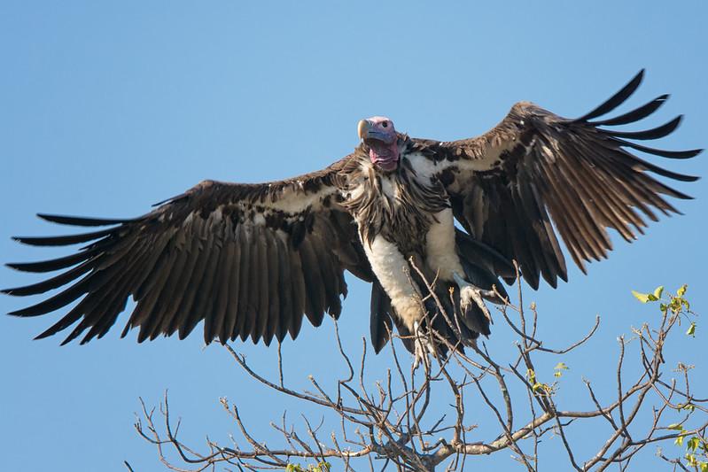 Quintus Vulture at s36
