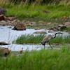 Kurkiperhe -   Tranfamiljen- Cranes