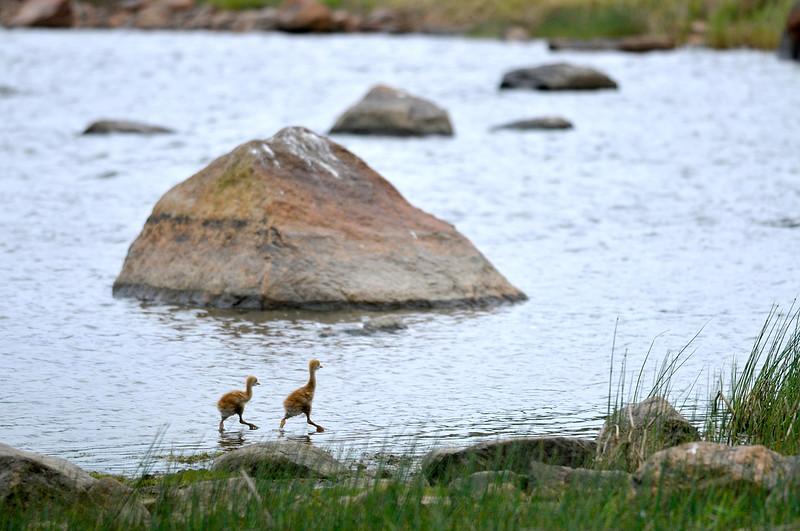 Kurjenpoikaset- Tranungar- Crane youngsters