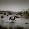 Kurjet vedessä  -  Tranor i vattnet -   Cranes in the archipelago