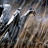 Kurki ja merikotka - Trana i kamp med havsörnen- Crane fighting with white-tailed eagle