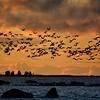 Kurkiparvi- Tranflock- Cranes
