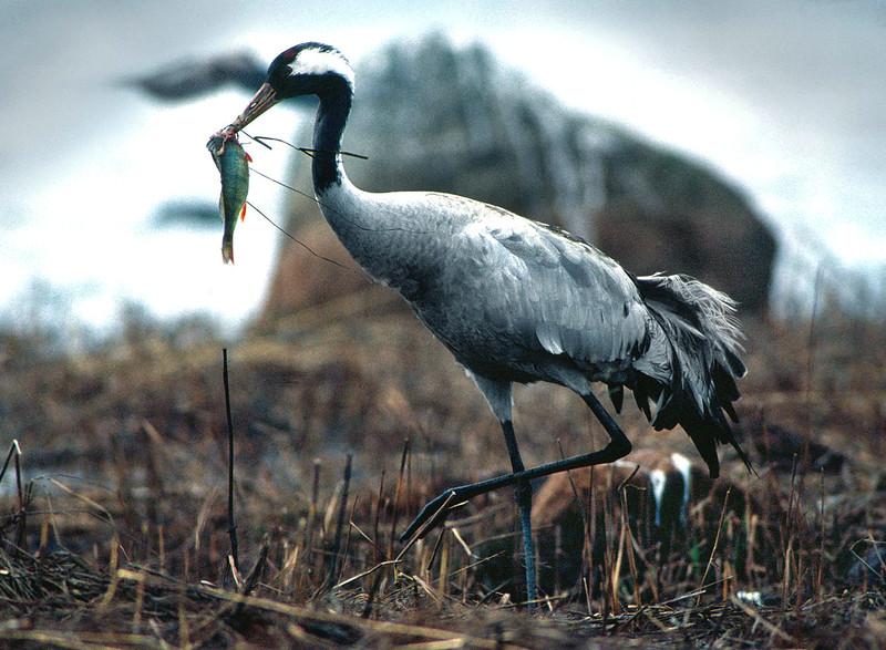 Kurki ja ahven- Trana ned abborre- Crane with perch