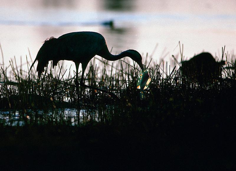 Kurki ja ahven- Trana ovh abborre- Crane ond perch