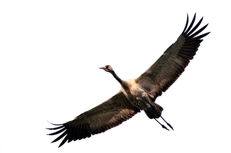 Kurki- Trana- Crane