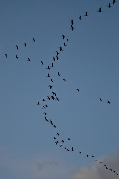 Kurkiaura- Flyttande tranor- Cranes