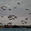 Kurjet merellä- Tranor i skärgården- Cranes in the archipelago