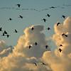 Pilvikurjet - Flyttande tranor- Cranes