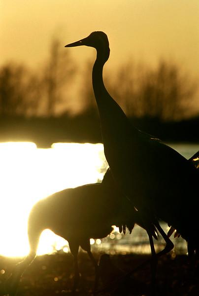 Kurjet- Tranor- Cranes