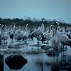 Kurjet saaristossa- Tranor i skärgården- Cranes in the archipelago