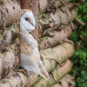 06 Barn Owl Looking Out