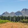 Stellenbosch Vineyard and Mountain