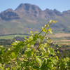 Stellenbosch Vineyard Branch