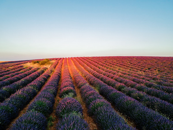 Sunset at the lavender fields