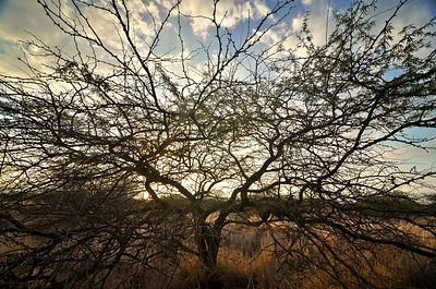 Kiawe (mesquite) tree on road to Makalawena. Big Island Hawaii, June 2012.