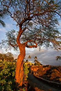 """""""Kiawe Tree at Anaehoomalu"""" Big Island Hawaii."""