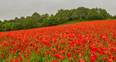 Brewdley Poppies