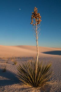 Yucca White Sands