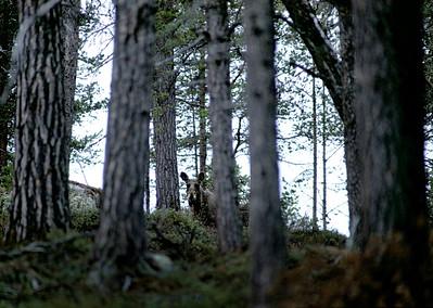 Lappi, lintuja ja eläimiä -  Lappland, fåglar och djur - Lapland,  birds and animals
